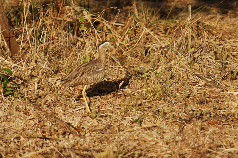 A Roadrunner at Hacienda Pinilla, Costa Rica