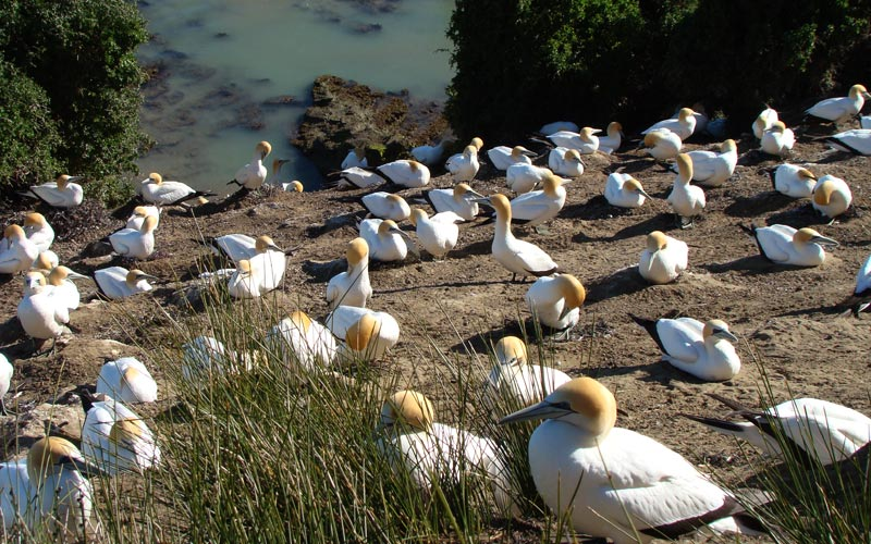 In some circles, Cape Kidnappers is better known for having the largest gannet colony in the world. Guests of the Farm would be remiss not to be taken to see these lithesome birds as they dive into the ocean for fish. In addition, a tour of the gannet colony provides some...